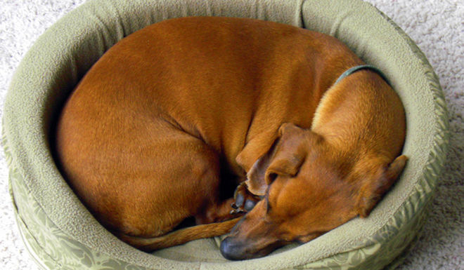 Do you know why dogs walk in circles before going to bed