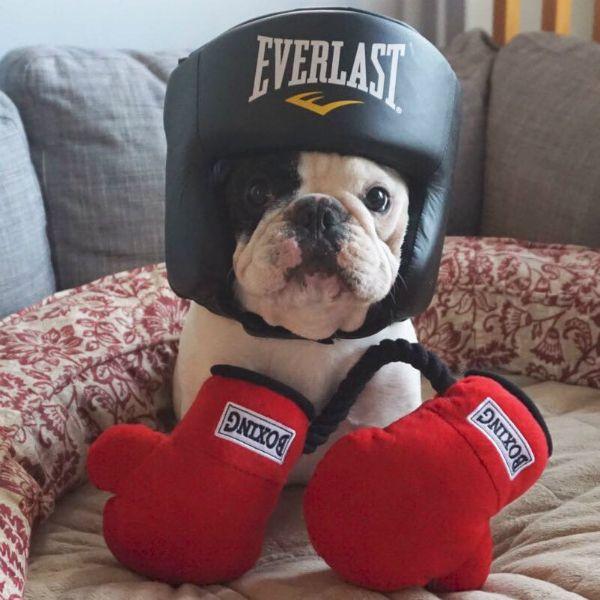 Manny The French Bulldog Philanthropist – Estimated Earnings Over $100,000