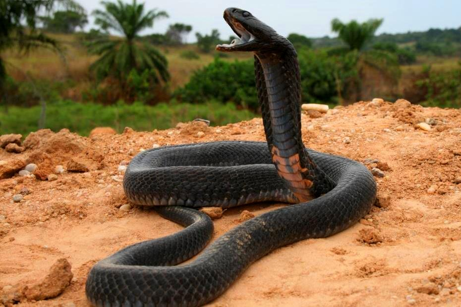 Black Necked Spitting Cobra