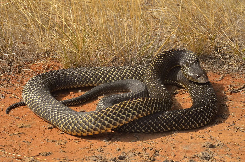 King Brown Snake Or Mulga Snake