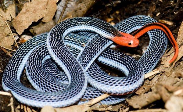 Malayan Snake