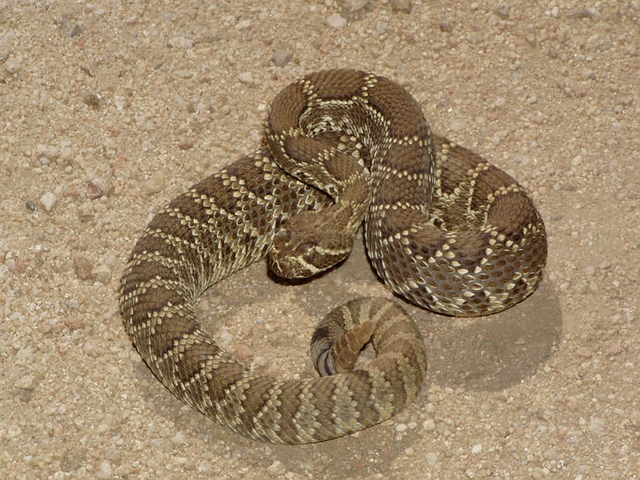 Mojave Rattlesnake1