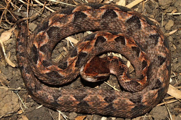 Malayan Pit Viper1