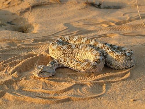 Horned Viper1