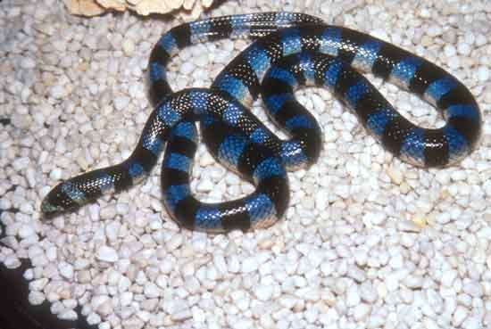 Black Banded Sea Krait1