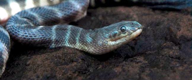 Beaked Sea Snake1