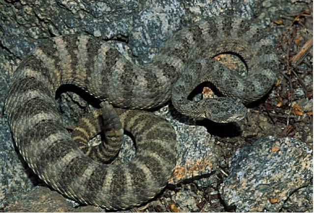 Tiger Rattlesnake1